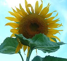 Sunflower by csilva