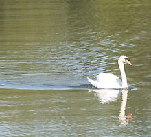 Swan swimming by csilva