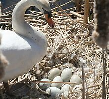 Mother Swan and Nest by csilva