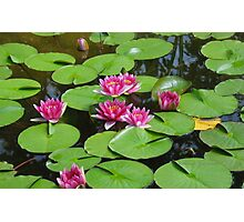 Water Lilies Photographic Print