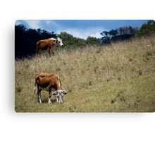 Herefords Canvas Print