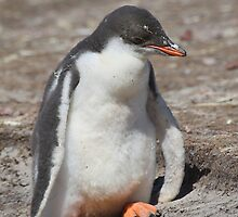 Baby Gentoo Penguin Waiting by Carole-Anne