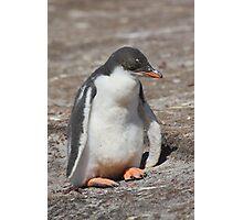 Baby Gentoo Penguin Waiting Photographic Print