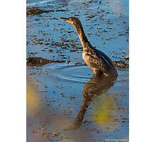Juvenile Double-crested Cormorant - Horseshoe Pond - Concord, NH 10-25-13 Photographic Print