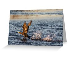 Juvenile Double-crested Cormorant - Horseshoe Pond - Concord, NH 10-25-13 Greeting Card