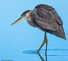 Great Blue Heron - Turee Pond - Bow, NH 11-05-13 by David Lipsy