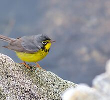1st Spring Male Canada Warbler - Star Island, 05-24-13 by David Lipsy