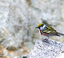 Spring Adult Male Chestnut-sided Warbler - Star Island, 05-24-13 by David Lipsy