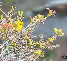 Spring Adult Female Northern Yellow Warbler at one of the ponds - Star Island 05-24-13 by David Lipsy