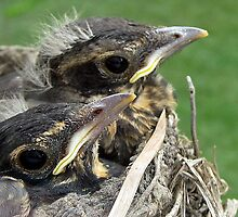 Dubois County Baby Robins by DCCaptured
