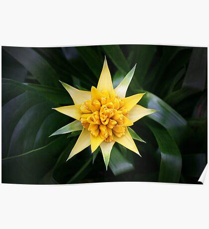 Yellow Starburst Flowering Plant Poster