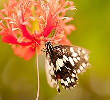 Butterfly on flower by Guy  Berresford