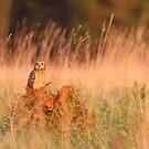 Short-eared Owl by Remo Savisaar
