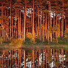 Pine trees at sunset by Remo Savisaar