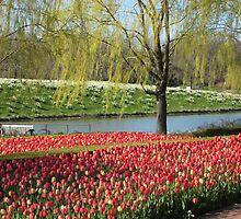 Tulips in the Crescent Garden by Kathie  Chicoine