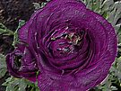 The deepest purple Rose by LoneAngel