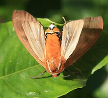 Moth on a Leaf by rhamm