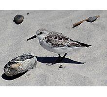 Sanderling - Hampton Beach State Park, NH 04-28-12 Photographic Print