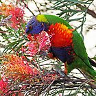 Rainbow Lorikeet ~ Breakfast by Evita