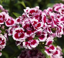 Welsh Mountain Dianthus' by Sarah Champ