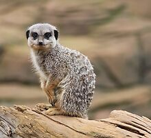 Attentive Meerkat by Sarah Champ