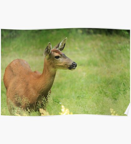 Columbia Black-tailed Deer Poster