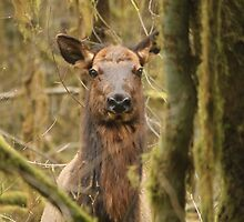 Roosevelt Elk Doe by Zach Hawn