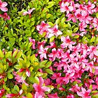 Colorful garden flowers, pink azalea flowers and green leaves. Floral photography. by naturematters