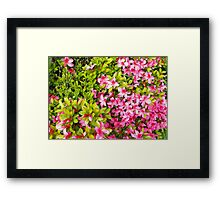 Colorful garden flowers, pink azalea flowers and green leaves. Floral photography. Framed Print