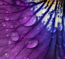 Wet Pansy by Gary Chapple