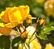 Rose of Melbourne by VenturAShot