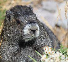 Marmot at Mt. Rainier by Zach Hawn