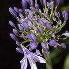 flower- agapanthus-blue-buds-one-flower by Joy Watson