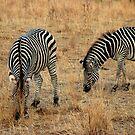 Zebra by Paul Tait