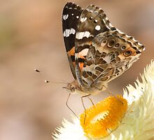 Australian Painted Lady taking nectar by NaturalCultural