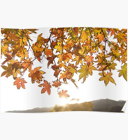 sunrise through the leaves of Momiji (autumn in Japan) Poster