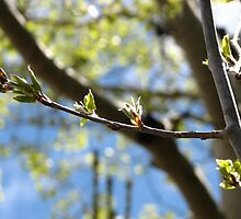 Leaf Buds by Bryana Fern