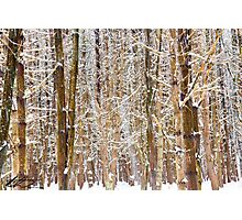 Snow in the Pines - SPNHF - Concord, NH 02-24-13 Photographic Print