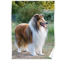 Rough Collie Dog Greeting Card Poster