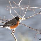 American Robin - Concord, NH 03-20-13 by David Lipsy