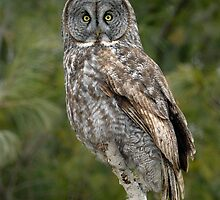 Great Gray Owl  by Heather Pickard