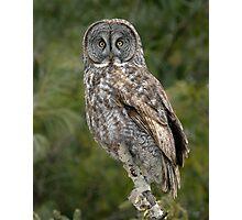 Great Gray Owl  Photographic Print