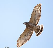 Broad-winged Hawk - Candia, NH 04-28-13 by David Lipsy