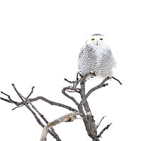 High Key Snowy Owl by Heather Pickard
