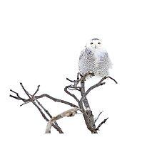 High Key Snowy Owl Photographic Print