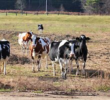 Cows - Pennacook, NH 11-20-12 by David Lipsy