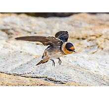 Cave Swallow - A Rare Visitor to Our State - Odiorne Point - Rye, NH 11-25-12 Photographic Print