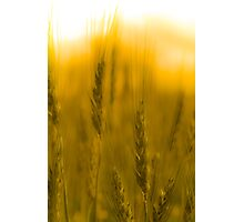 Prairie Gold Photographic Print