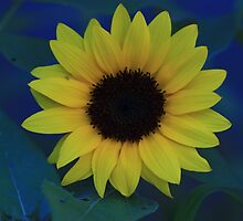 Sunflower by Keith G. Hawley