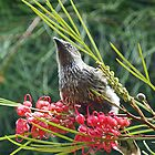 Little Wattlebird by Margaret Saheed